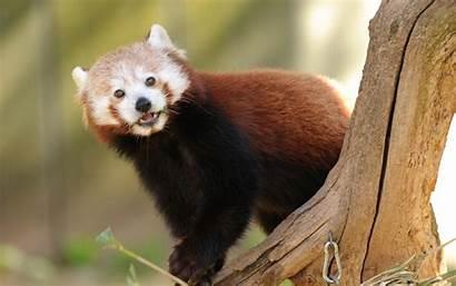 Panda Pandas Hi Res Wallpapersafari Them Don