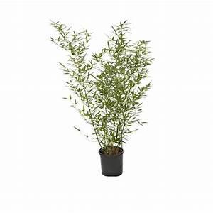 Bambous En Pot : bambou phyllostachys bissetii pot de 7l bambous jardin ~ Melissatoandfro.com Idées de Décoration