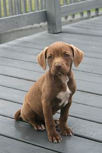 The gallery for --> Brown Pitbull Terrier Puppies