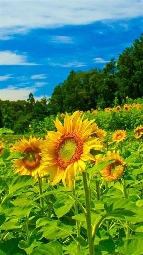 45 hình nền hoa tuyệt đẹp cho điện thoại 2016 hình nền