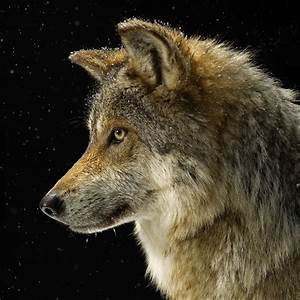 Gray Wolf | National Geographic