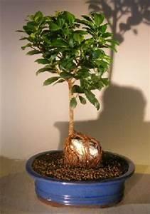 Bonsai Ficus Ginseng : ginseng ficus bonsai tree mediumroot over rock style ficus retusa ~ Buech-reservation.com Haus und Dekorationen