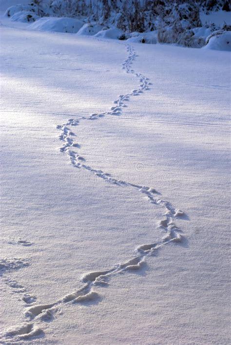 animal tracks  snow royalty  stock  image