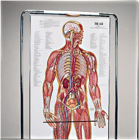 Learn about anatomy human bone structure with free interactive flashcards. The Thin Man Sequential Human Anatomy Figure