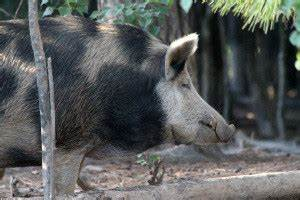 Giant hogs are for real...or are they? - Texas Fish & Game ...