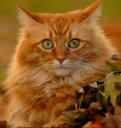 orange cat 6 things you didn t about orange tabby cats meowingtons