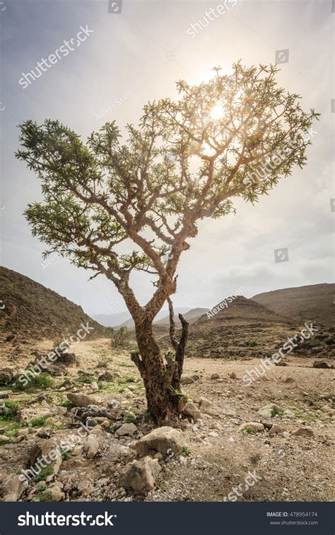 growing frankincense frankincense tree growing in a desert near salalah oman stock photo 478954174 shutterstock