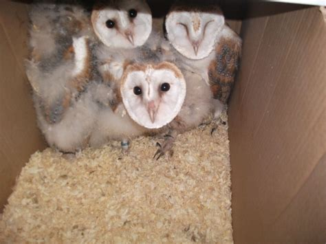 Barn Owl Breeders by 3 Barn Owl For Sale Smethwick West Midlands
