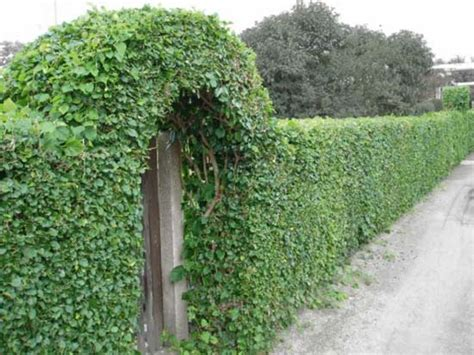 plants that climb fences 20 green fence designs plants to beautify garden design and yard landscaping
