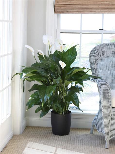 indoor plants  light hgtv