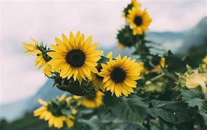 Sunflower Yellow Flowers Bloom 4k Ultra Background