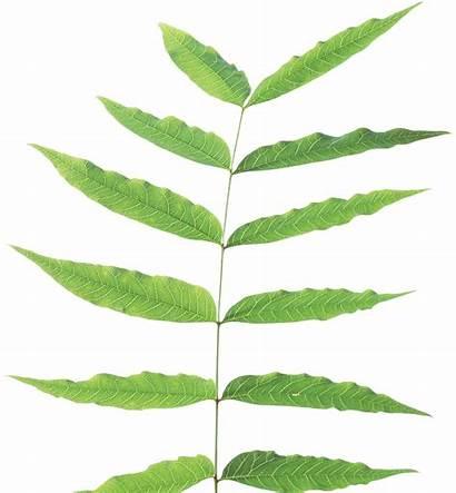 Leaves Plant Stem Leaf Transparent Arbres Verdures