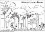 Rainforest Animals Drawing Tropical Amazon Jungle Trees Ecosystem Habitat Project Daintree sketch template