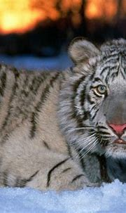 White Tiger Cub Wallpapers - Wallpaper Cave