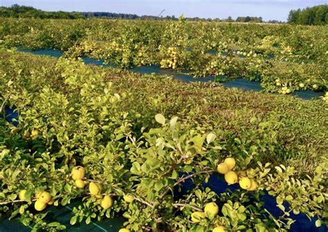 cidoniju audzēšana