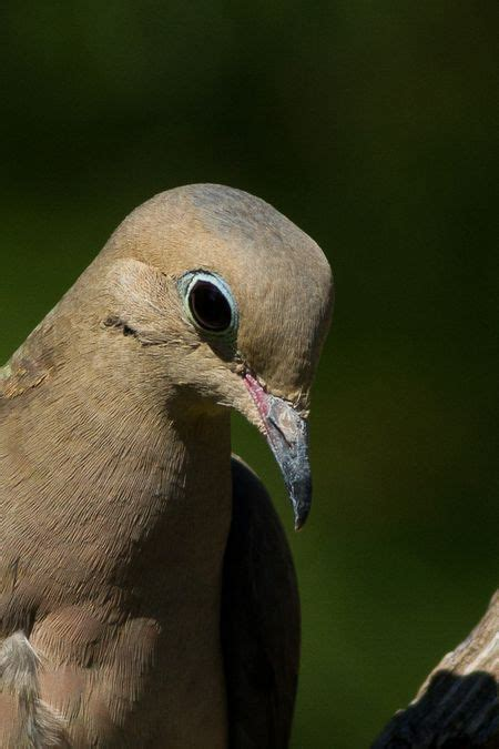 25 best ideas about dove pictures on pinterest pictures