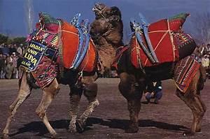 Course De Chameau : chameau dromadaire les pionniers du desert dinosoria ~ Medecine-chirurgie-esthetiques.com Avis de Voitures
