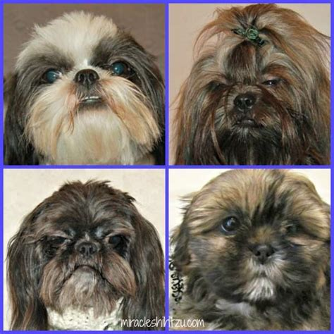 Shower Poo by About Shih Tzu Eyes