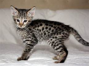 leopard cat for 301 moved permanently