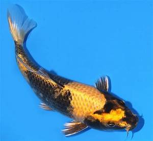 417 best images about Koi Fish on Pinterest | 14, Zippers ...