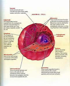 Animal Cell Diagrams Labeled