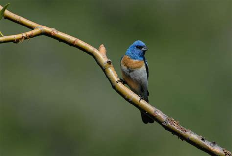 free picture male lazuli bunting bird branch
