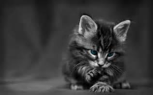 blue eyed cat blue eyed cats inspiration photos
