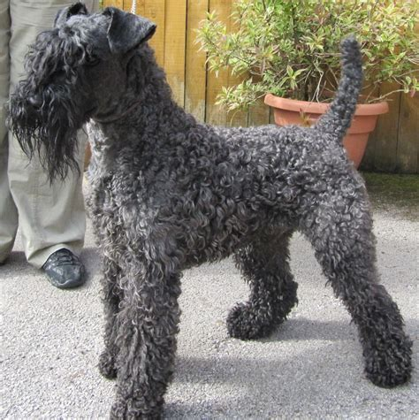 Ago For Sale Dogs Kerry Blue Terrier Important Before