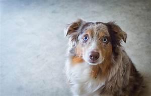 Australian Shepherd - Dog Breed Answers