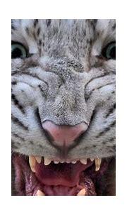 animal tiger eyes 4k ultra hd wallpaper » High quality walls