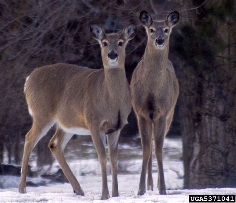 forest timber management white tail deer