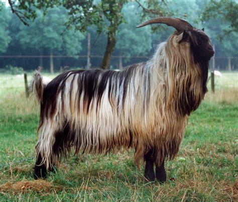 goat breeds goat breeds dutch landrace goat