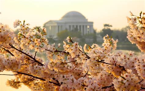 cherry blossom facts facts about washington dc s cherry blossom festival