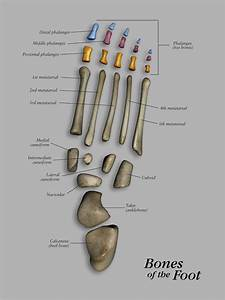 Bones Of The Foot Separated