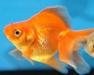 Red Fantail Goldfish | Flickr - Photo Sharing!