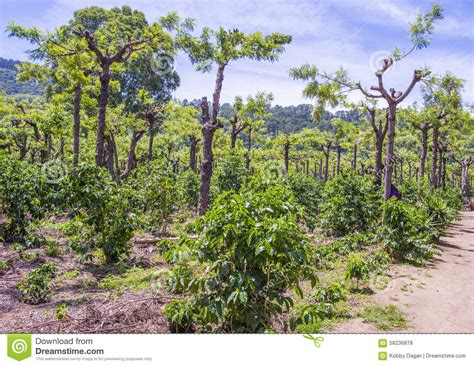 Most guatemala coffee plantation owners welcome tourists onto their farms and even provide specialized tours of their guatemala coffee growing and harvesting facilities. Guatemala Coffee Plantation Stock Photo - Image: 58236878