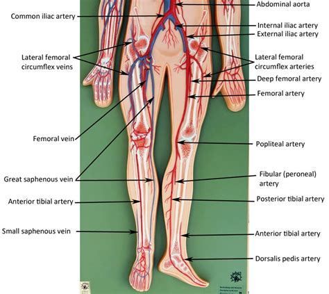 Where venules are smaller versions of veins. vascular   Anatomy models labeled, Blood vessels anatomy ...