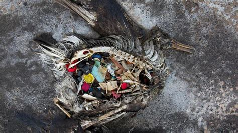 Vogels Verwarren Plastic Met Eten Door Geur Algengroei
