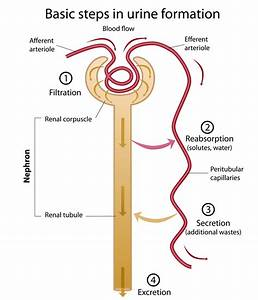 Simple Diagram Of Nephron