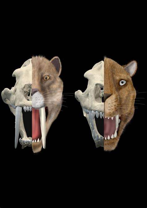 cat scans  sabertooth cats skulls unearth evolution