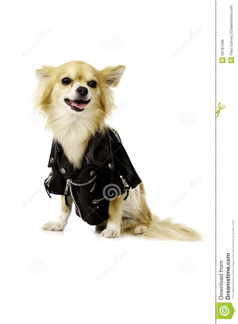 chihuahua wearing  black leather jacket royalty