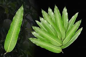 Mango leaves (Set of 12) - Rudraksha Ratna