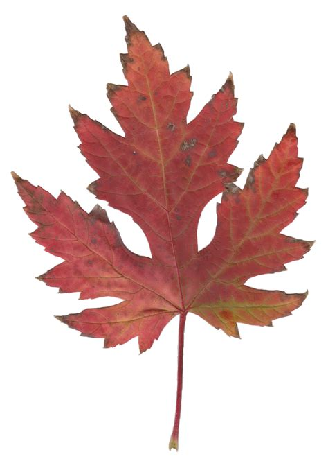 maple leaf file autumn silver maple leaf jpg wikimedia commons
