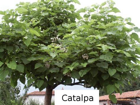 arbre parasol croissance rapide arbre de jardin a croissance rapide maison design mail lockay