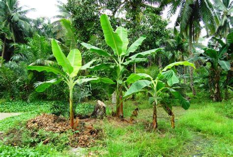 penjelasan lengkap tentang ciri ciri pohon pisang berkah
