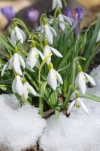 Glücksklee Zwiebeln Kaufen : schneegl ckchen bl ten im schnee stockfoto 129081552 ~ Orissabook.com Haus und Dekorationen