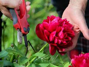Pruning and Cutting Peonies DIY