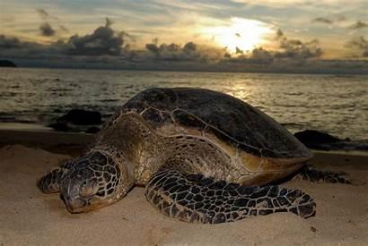 Sea Turtle Beach Turtles Shore Laniakea Costa