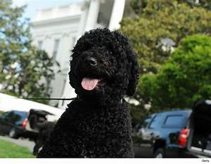 Obama Dog Sunny Has Bite, But NO History Of Aggression ...