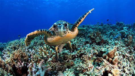 planet episode turtle ocean hawksbill guide indian natural reefs coral adaptations ii naturalworldsafaris